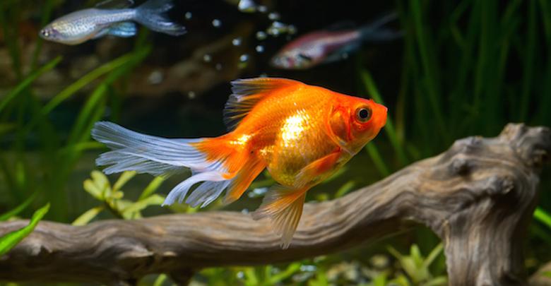 طرز نگهداری ماهی قرمز