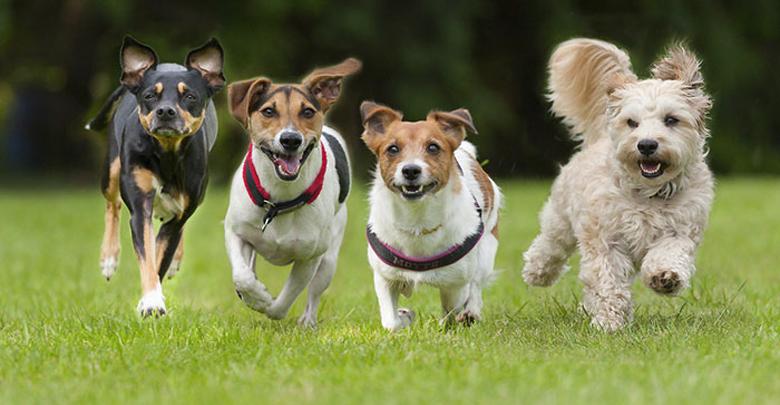 باهوش ترین نژاد سگ خانگی