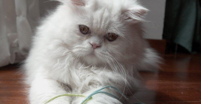 معرفی نژاد و سلامت گربه های ایرانی