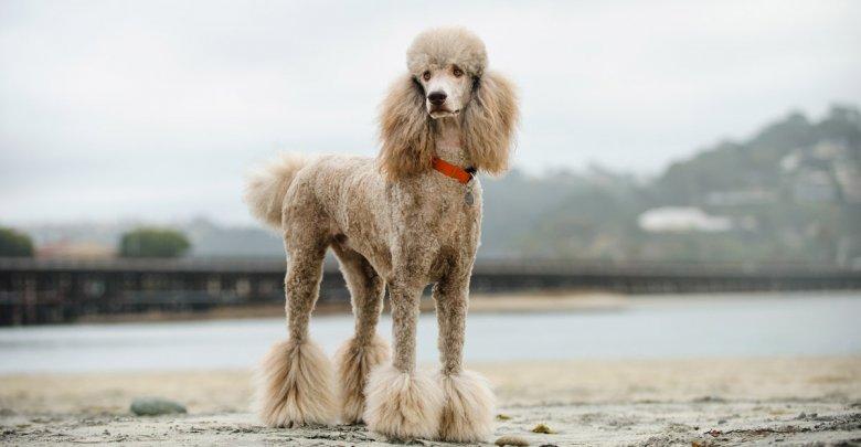 بیماری های شایع در سگ های نژاد پودل