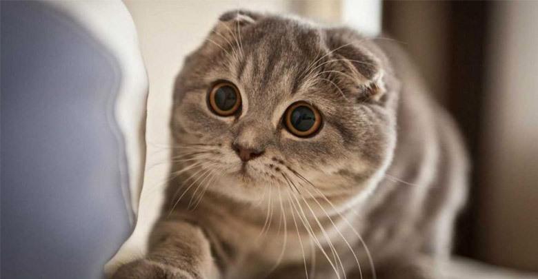 بیماری های شایع در نژاد گربه اسکاتیش