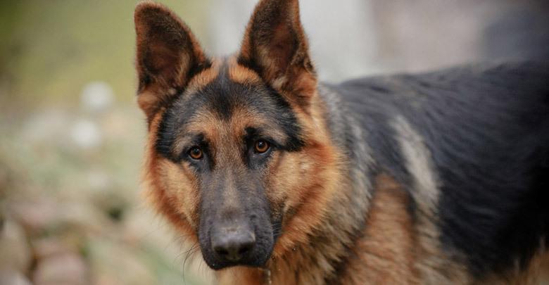 نژاد سگ ژرمن شپرد