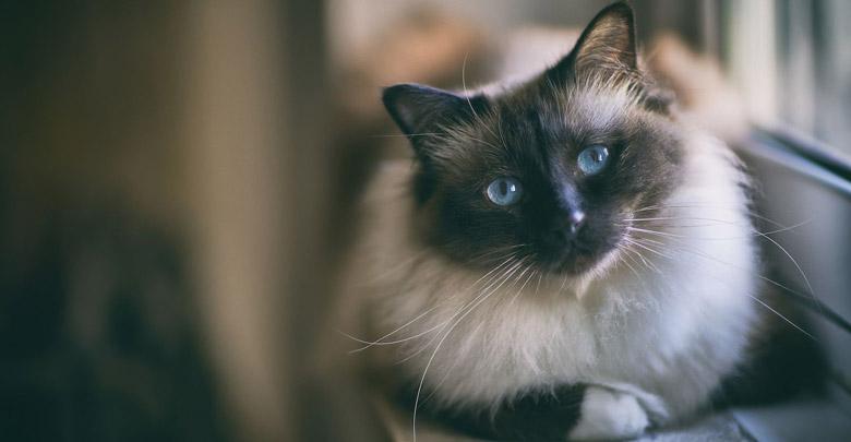 نژاد گربه بیرمن
