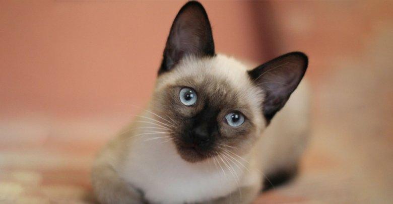 ویژگیهای گربه نژاد سیامی