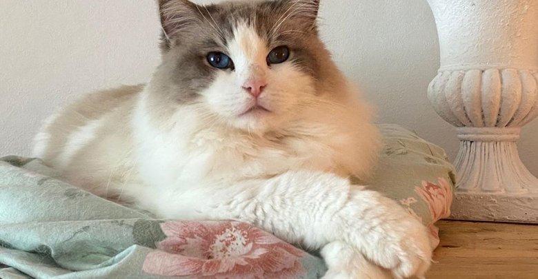 نژاد گربه رگدال