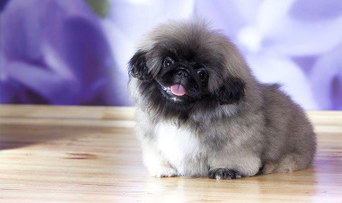 نژاد سگ پیکینیز