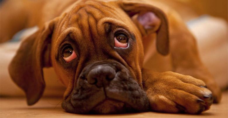 خشکی چشم سگ ها