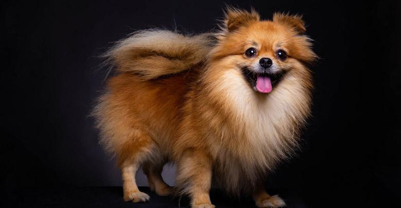 نژاد سگ پامرانین