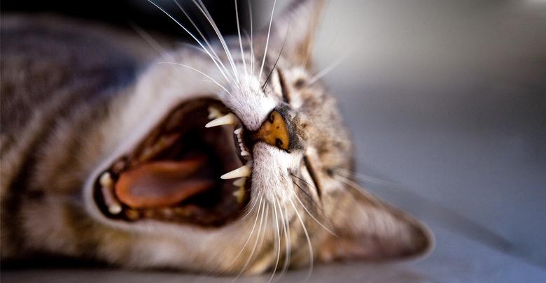 نشانه های درد در گربه ها