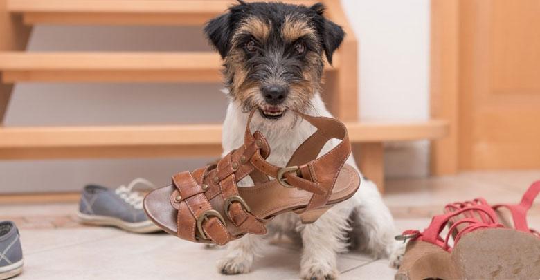 جویدن وسایل منزل توسط سگ