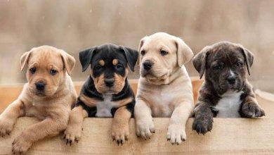 سگ های بومی ایرانی