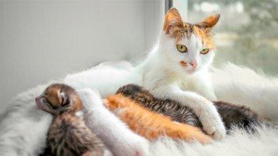 علائم بارداری در گربه ها