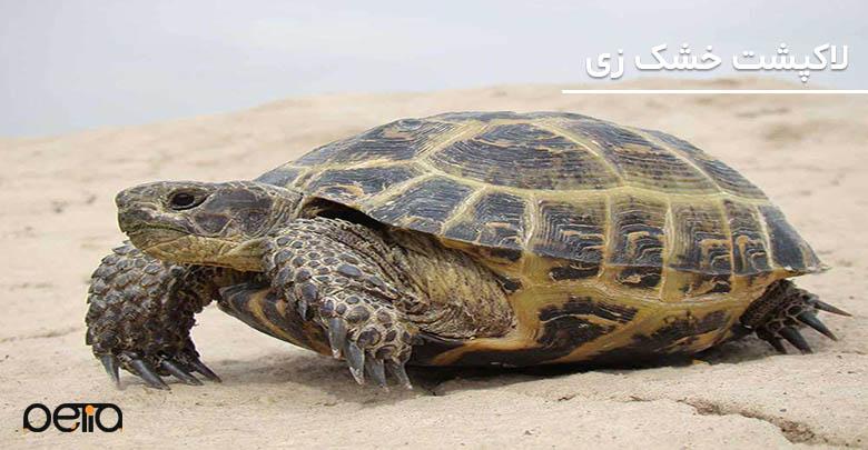 تصویری از لاکپشت خشکزی