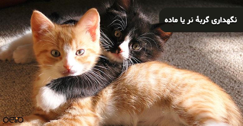 تصویری از نگهداری گربۀ نر یا ماده