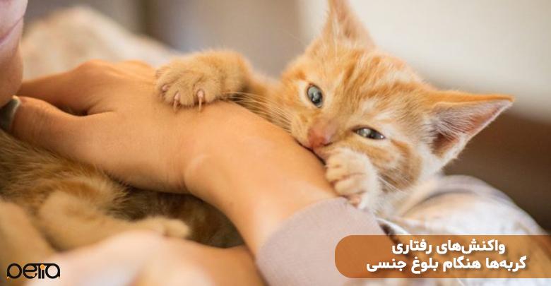 واکنش رفتاری گربه بلوغ جنسی