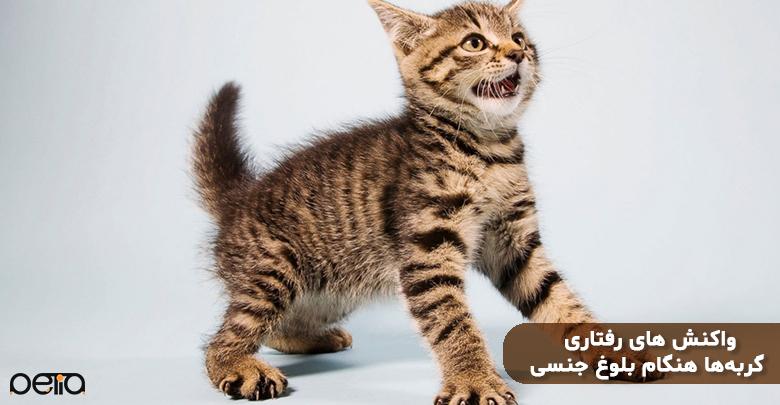 رفتار گربه هنگام بلوغ جنسی
