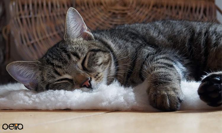 روزهای اول بعد از عمل عقیم شدن گربه