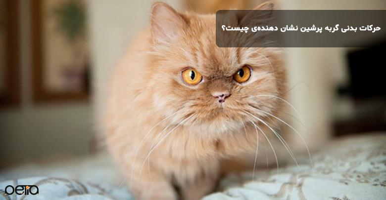 حرکات بدنی گربه پرشین نشان دهنده چیست؟