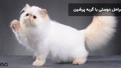 مراحل دوستی با گربه پرشین