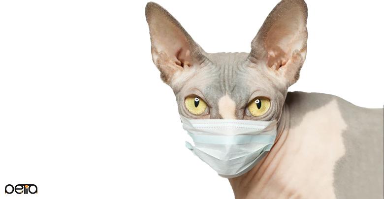 بیمار شدن گربه اسفینکس