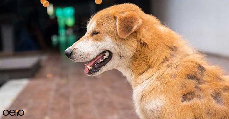 بیماری های ژنتیکی موثر بر ریزش مو در سگ ها