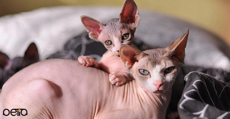 نگهداری از گربه اسفینکس