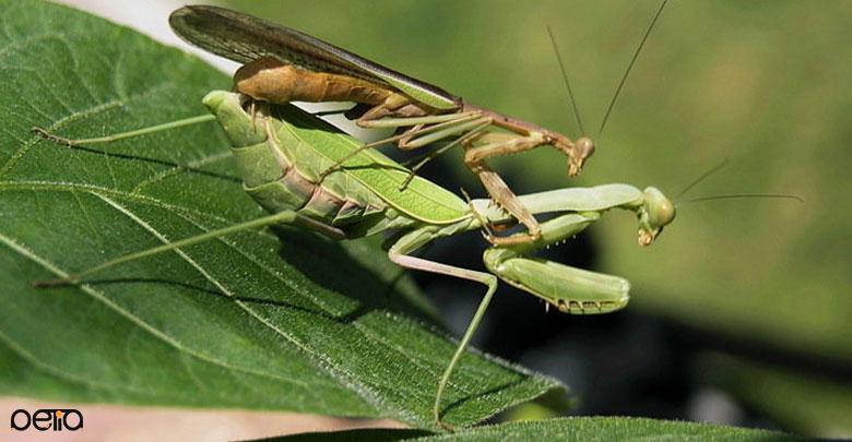 نحوه تولید مثل حشرات آخوندک