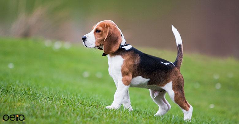 سگ بیگل