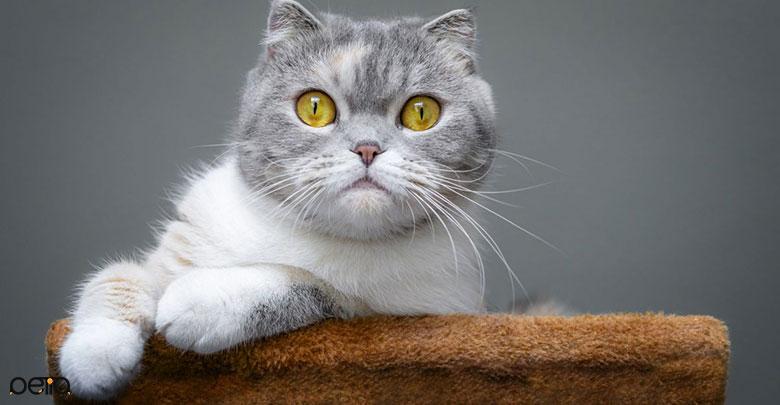 گربه Scottish Fold