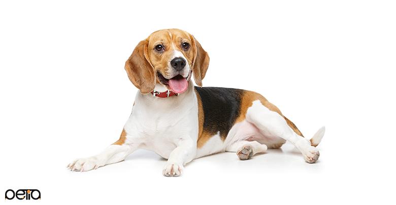 نژاد سگ Begueule