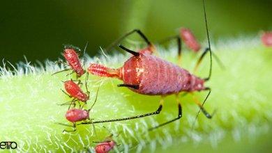 نحوه تولید مثل حشرات