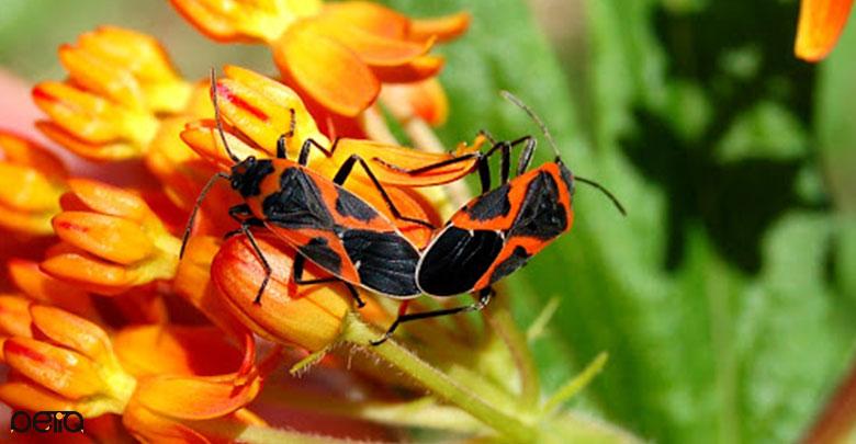 تولید مثل حشرات