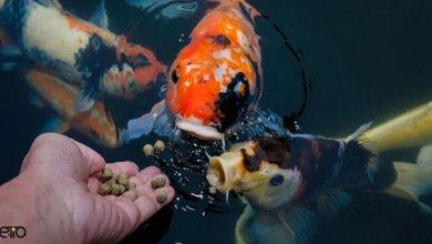 معرفی انواع غذای ماهی