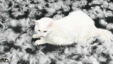 ریزش موهای گربه